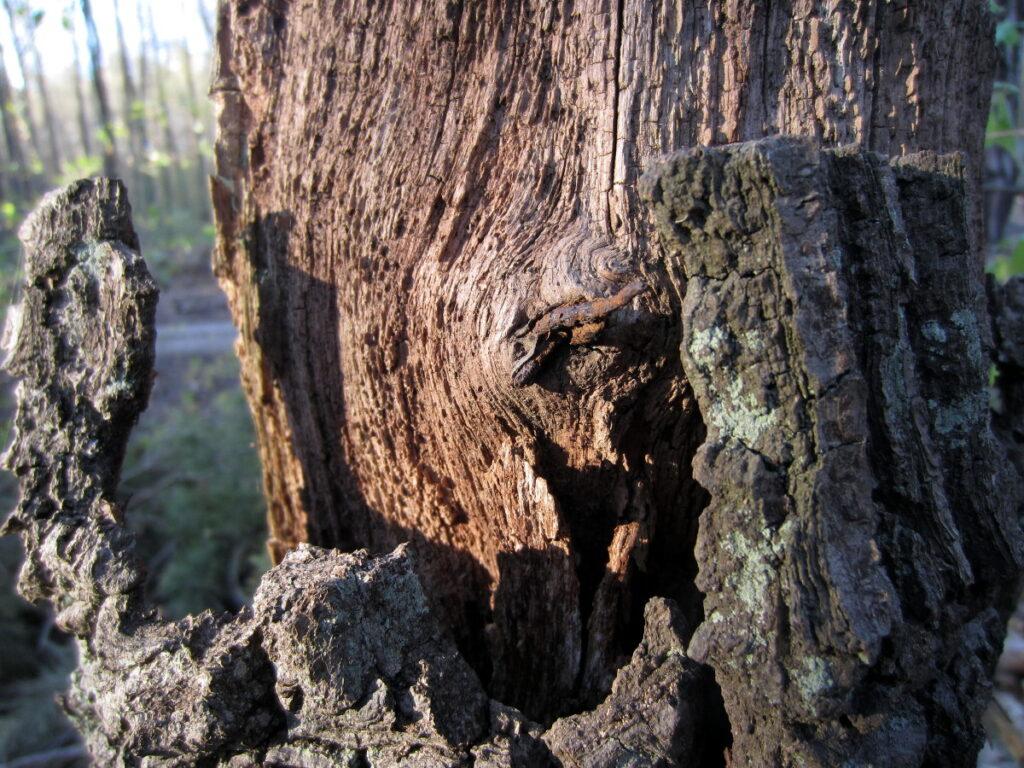 Nahaufnahme vom eingewachsenen Stacheldraht bei Eichwalde